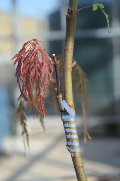 Acer palmatum - Summer grafts growing on at Sandy Lane Nursery.