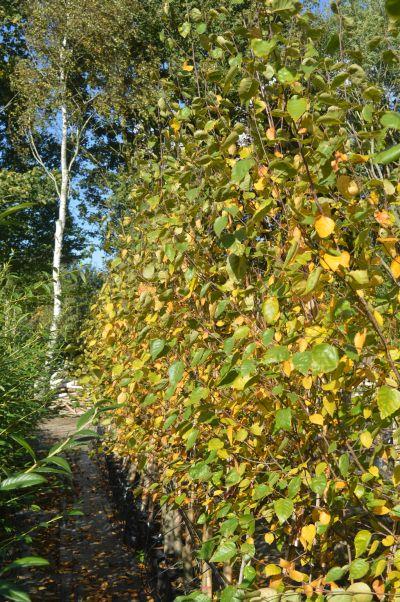 Betula jaquemontii - Autumn colour at Sandy Lane Nursery, Diss, Norfolk.