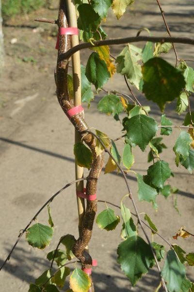 Betula pendula Spider Alley trunk details.