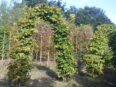 Carpinus betulus - Archways at Sandy Lane Nursery, Diss, Norfolk.