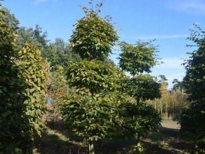 Sandy Lane Nursery - Carpinus betulus - various topiary shapes.