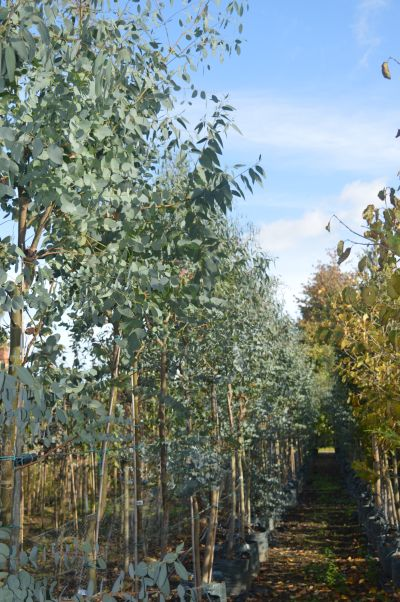 Sandy Lane Nursery stock of Eucalyptus gunnii in 40L pots.