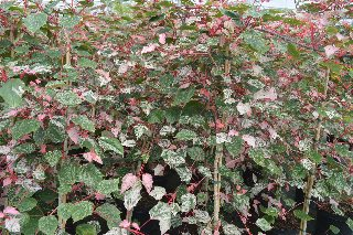 acer conspicuum red flamingo.