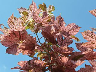 The foliage of Acer pseudoplatanus Eskimo Sunset.