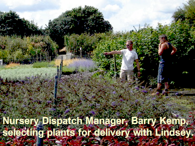 Barry and Glenda sorting wholesale container grown nursery stock at Sandy Lane, Diss.