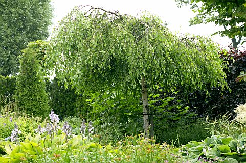 betula pendula 39 youngii 39 sandy lane nursery online trees. Black Bedroom Furniture Sets. Home Design Ideas
