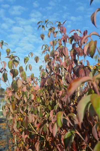 Cornus kousa chinensis at Sandy Lane Nursery, Diss, Norfolk.