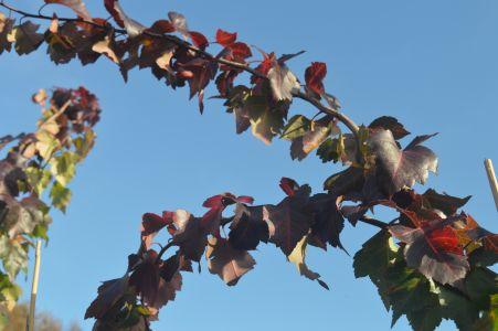 Crataegus phaenopyrum (Washington Thorn) at Sandy Lane Nursery.