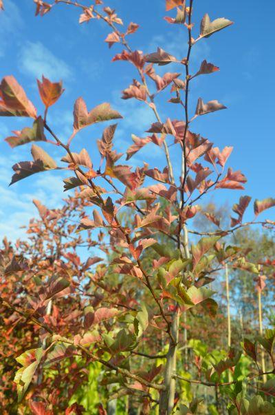 Crataegus pinnatifida, Diss, Norfolk