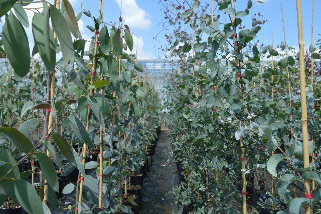 eucalyptus gunnii and eucalyptus pauciflora niphophila.
