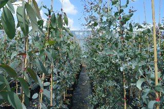 eucalyptus pauciflora niphophila and gunnii.