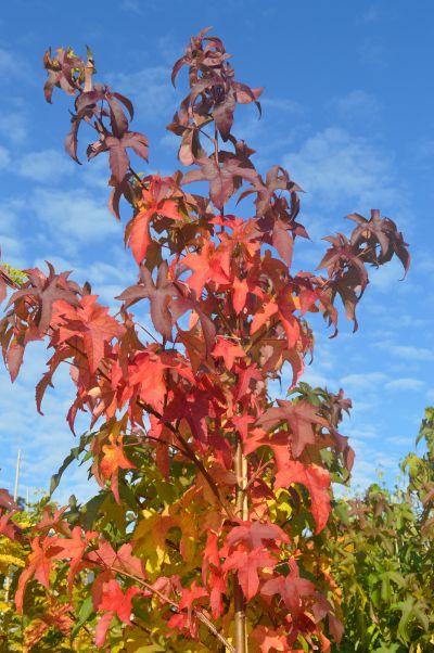 Liquidambar sty Lane Roberts - Autumn colour at Sandy Lane Nursery.