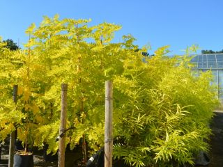 Robinia Frisia and Salix Summer Sunshine at Sandy Lane Nursery, Diss, Norfolk.